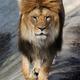 Lion portrait - PhotoDune Item for Sale