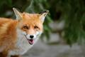 Wild red fox portrait