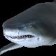 Sand Tiger Shark Pack 2 - VideoHive Item for Sale