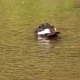 Duck Swims Bathes In Mountain River - VideoHive Item for Sale
