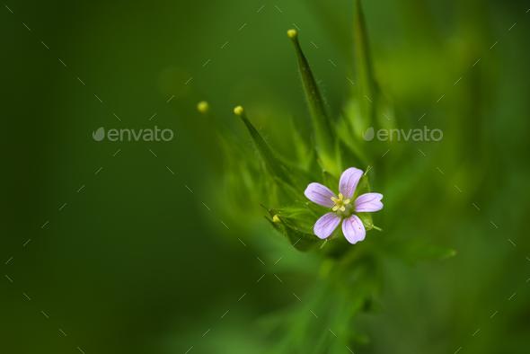 Wild Geranium - Stock Photo - Images