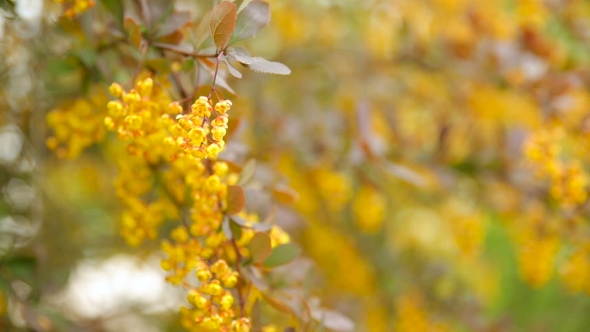 Blooming berberis ottawensis deciduous and evergreen shrub bright play preview video mightylinksfo