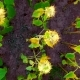 Sunflower Field From Sky - VideoHive Item for Sale