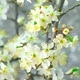 White Plum Tree Flowers. - VideoHive Item for Sale