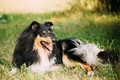 Staring To Camera Tricolor Scottish Rough Long-Haired Collie Las