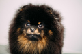 Close Up Black Pomeranian Spitz Small Dog