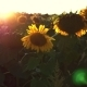 Flowering Sunflowers On a Background Sunset - VideoHive Item for Sale