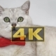 Cat in Red Bow Tie - VideoHive Item for Sale