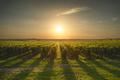 Bolgheri and Castagneto vineyard on sunset in backlight. Maremma