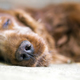 Download Sleeping old dog portrait from PhotoDune