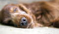 Sleeping old dog portrait - PhotoDune Item for Sale