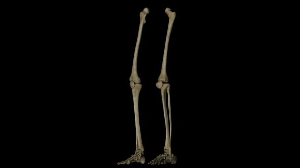 Legs Skeleton Bone by IANM35 | VideoHive