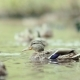 Ducks On The Lake. Ducks Swimming In The Pond. Ducks On The Water - VideoHive Item for Sale
