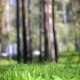 Grass Lawn In a Pine Forest - VideoHive Item for Sale