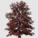 Growing Red Maple Tree - VideoHive Item for Sale