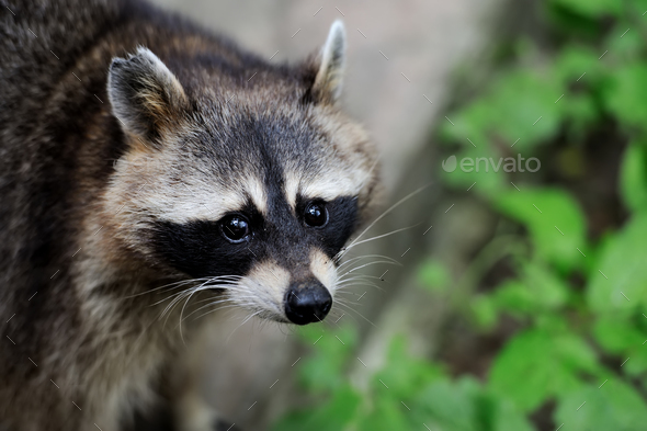 Raccoon in the forest - Stock Photo - Images