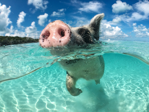 Wild, swiming pig on Big Majors Cay in The Bahamas - Stock Photo - Images