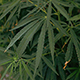 Cannabis Plants - VideoHive Item for Sale