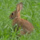 Wild Bunny Rabbit Watching - VideoHive Item for Sale