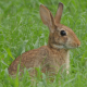Wild Bunny Rabbit Eating Grass - VideoHive Item for Sale