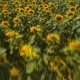 Flight Over A Field Of Sunflowers - VideoHive Item for Sale