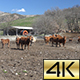 Cows Pyrenean 01 - VideoHive Item for Sale