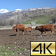 Cows Pyrenean 02 - VideoHive Item for Sale