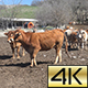 Cows Pyrenean 03 - VideoHive Item for Sale