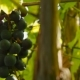 Shot Of Beautiful Grapevine And Ripe Grapes Against Sunset - VideoHive Item for Sale