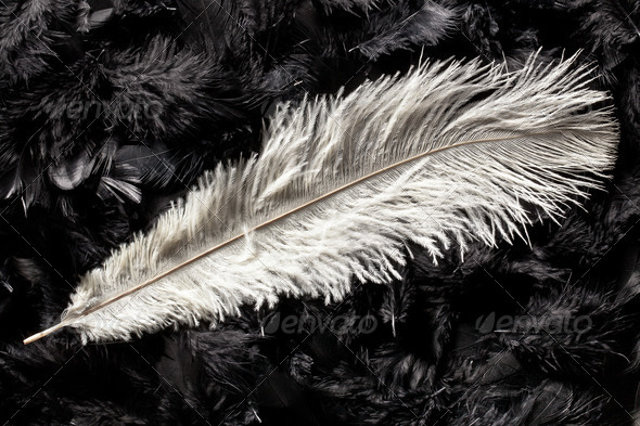 white ostrich feather - Stock Photo - Images
