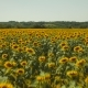 Yellow Sunflowers In Sunlight - VideoHive Item for Sale
