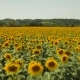 Flying Over a Large Sunflowers Field - VideoHive Item for Sale