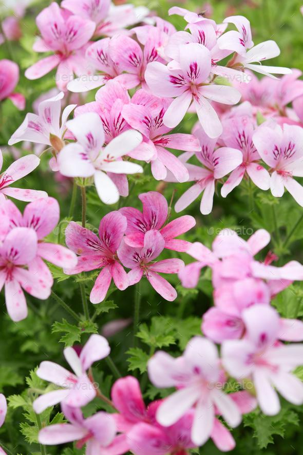 Pelargonium 'Prince of Orange' pink geranium flowers - Stock Photo - Images