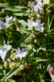 Spiderwort, Tradescantia andersoniana white flowers and leaves