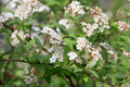 Spiraea vanhouttei, bridal wreath white flowers and leaves