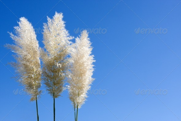 Plumes Of Pampas Grass - Stock Photo - Images