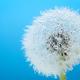 Wish flower Dandelion - Stock image - PhotoDune Item for Sale