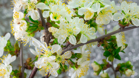 White plum tree flowers by nao98 videohive play preview video mightylinksfo