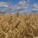 Wheat Ears In Field - VideoHive Item for Sale
