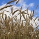 Of Wheat Ears In Field. - VideoHive Item for Sale