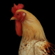 Farm Animals - Rooster - 2 Scene - VideoHive Item for Sale