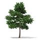 Scots Pine Tree (Pinus sylvestris) 10m