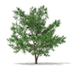 Scots Pine Tree (Pinus sylvestris) 8.7m