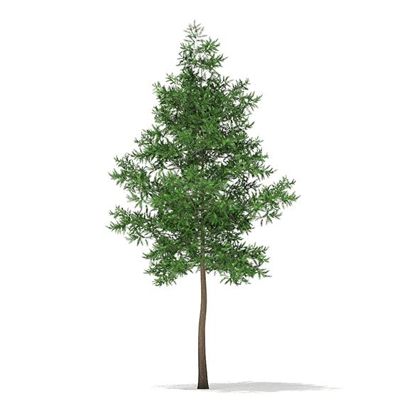 Scots Pine Tree (Pinus sylvestris) 10.8m - 3DOcean Item for Sale