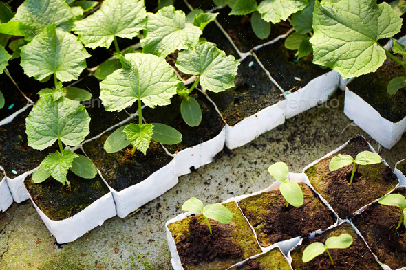 Seedlings - Stock Photo - Images