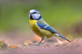 Eurasian blue tit walking on forest floor