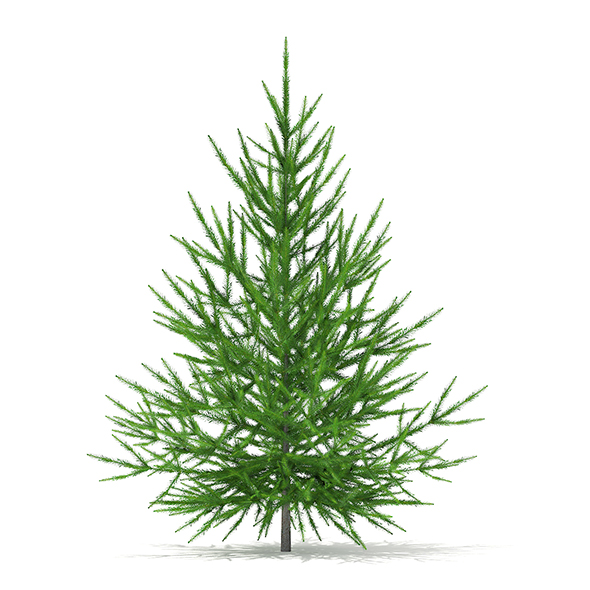 Norway Spruce (Picea abies) 1.5m - 3DOcean Item for Sale