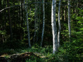 Birch trees, Tiveden, Sweden - PhotoDune Item for Sale