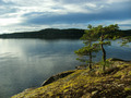 Pine trees, Alsen / Askersund coast - PhotoDune Item for Sale