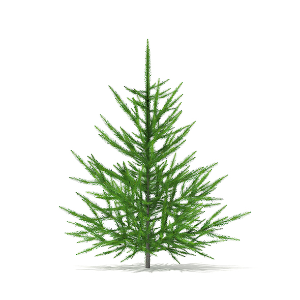 Norway Spruce (Picea abies) 1m - 3DOcean Item for Sale